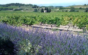 170411 Neil Wine Column Cave De Cairanne Vineyard And Lavender