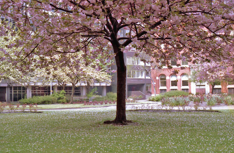 Manchester 1980S Cherry Blossom St Marys Parsonage