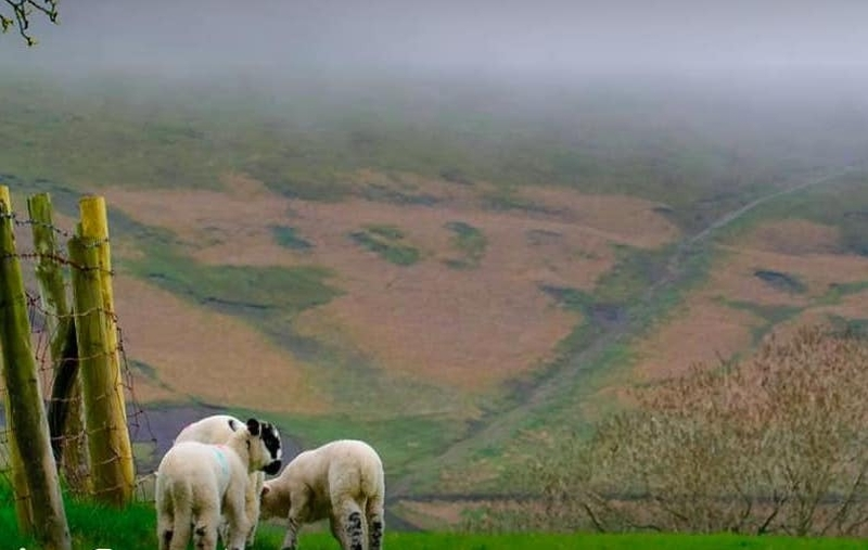 190218 Pendle Sheep