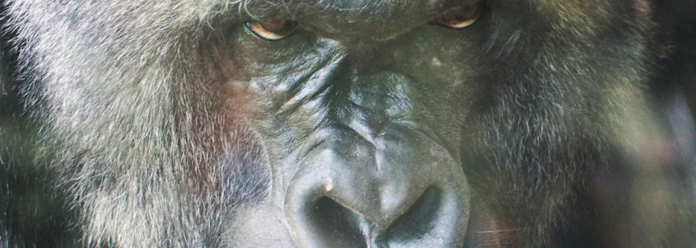 20170904 Spa Satori Gorilla