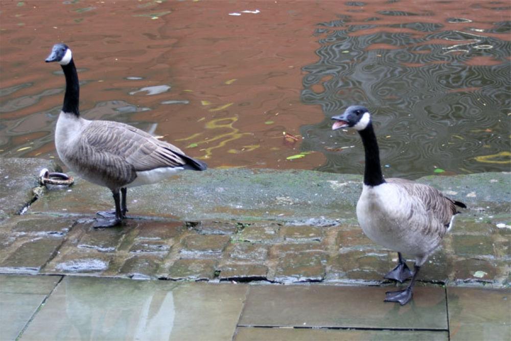 Geese Castlefield