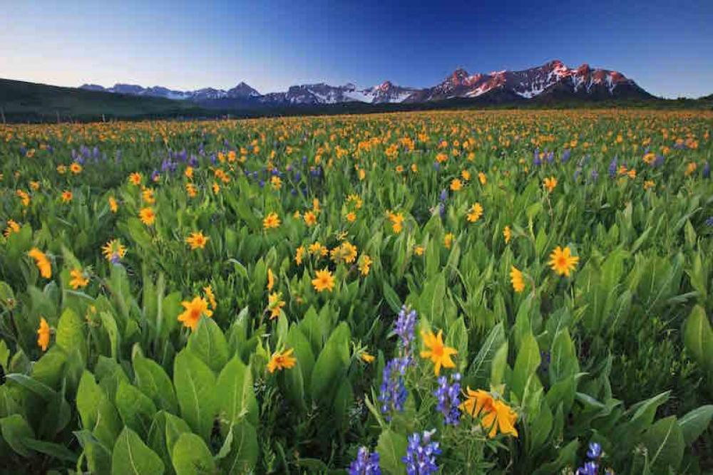 170824 Telluride Wildflowers